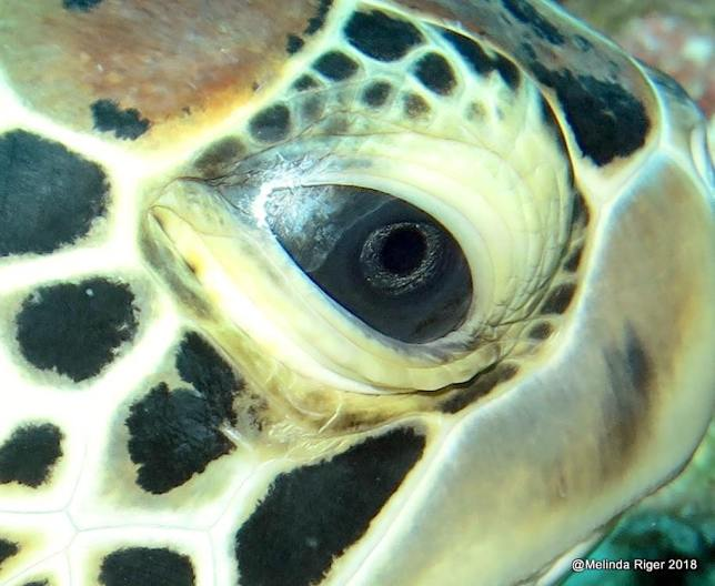 Green Turtle Eye (Melinda Riger / Grand Bahama Scuba)