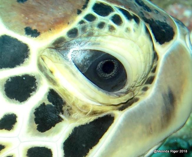 Green Turtle Eye (Melinda Riger / Grand Bahama Scuba)