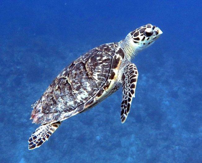 Hawksbill Turtle (Melinda Riger / Grand Bahama Scuba)