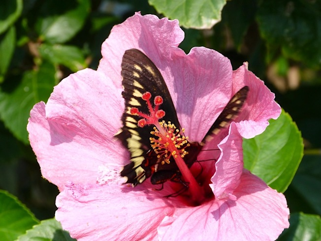 Pink Hibiscus (with Polydamus Swallowtail) Abaco Bahamas (Keith Salvesen)