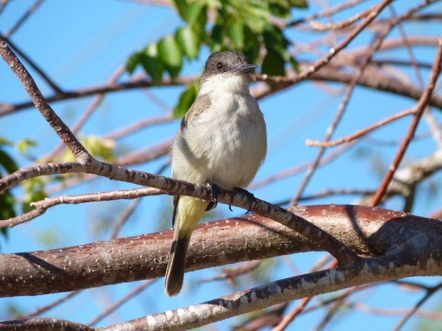 Loggerhead Kingbird, Sandy Point, Abaco Bahamas (Keith Salvesen)