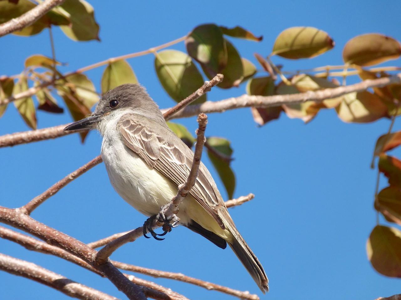 Loggerhead Kingbird, Sandy Point, Abaco Bahamas (Keith Salvesen)