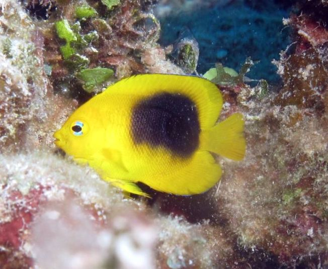 ROCK BEAUTY: BAHAMAS REEF FISH (Melinda Riger / GB Scuba)