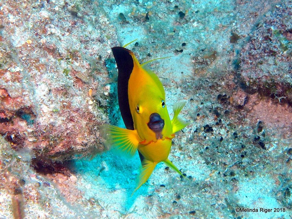 ROCK BEAUTY: BAHAMAS REEF FISH (Melinda Riger / GB Scuba)