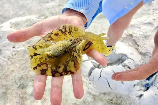 Sea Hare, Abaco Bahamas (Melissa Maura)