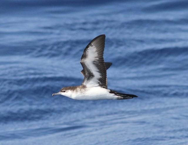 Audubon's Shearwater (Neotropical Birds / Cornell / Brian Sullivan)