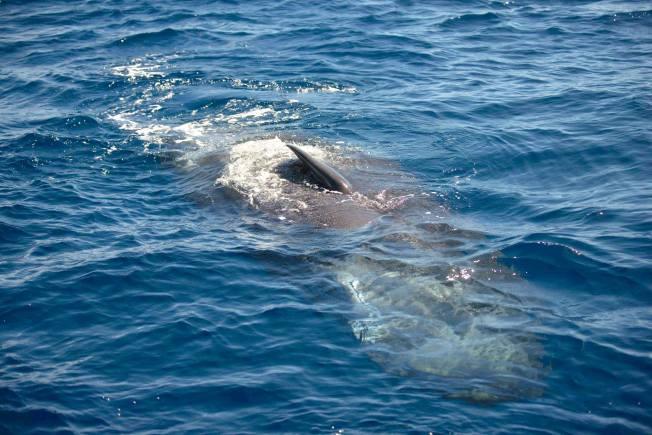 Dolphins, Sea of Abaco Bahamas (BMMRO / Charlotte Dunn / Keith Salvesen)