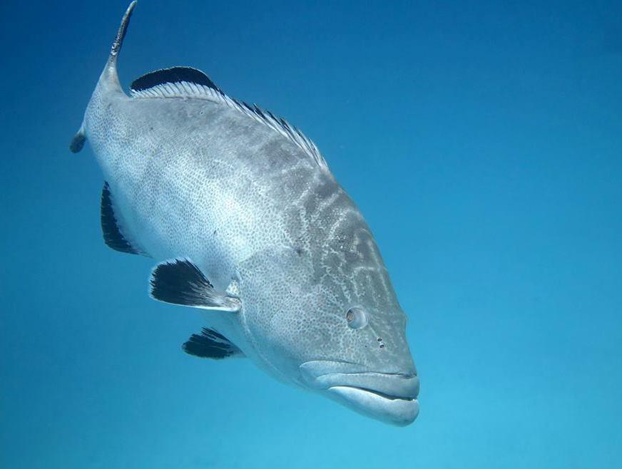 Black Grouper, Bahamas (Arnold) - Melinda Riger @ GB Scuba