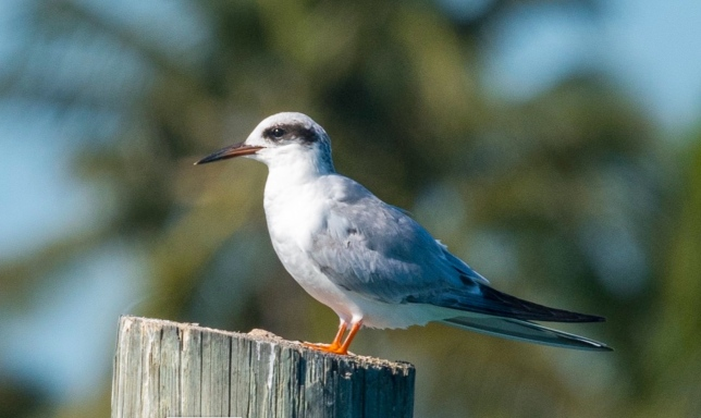 Forster's Tern, Abaco Bahamas (Sally Chisholm)