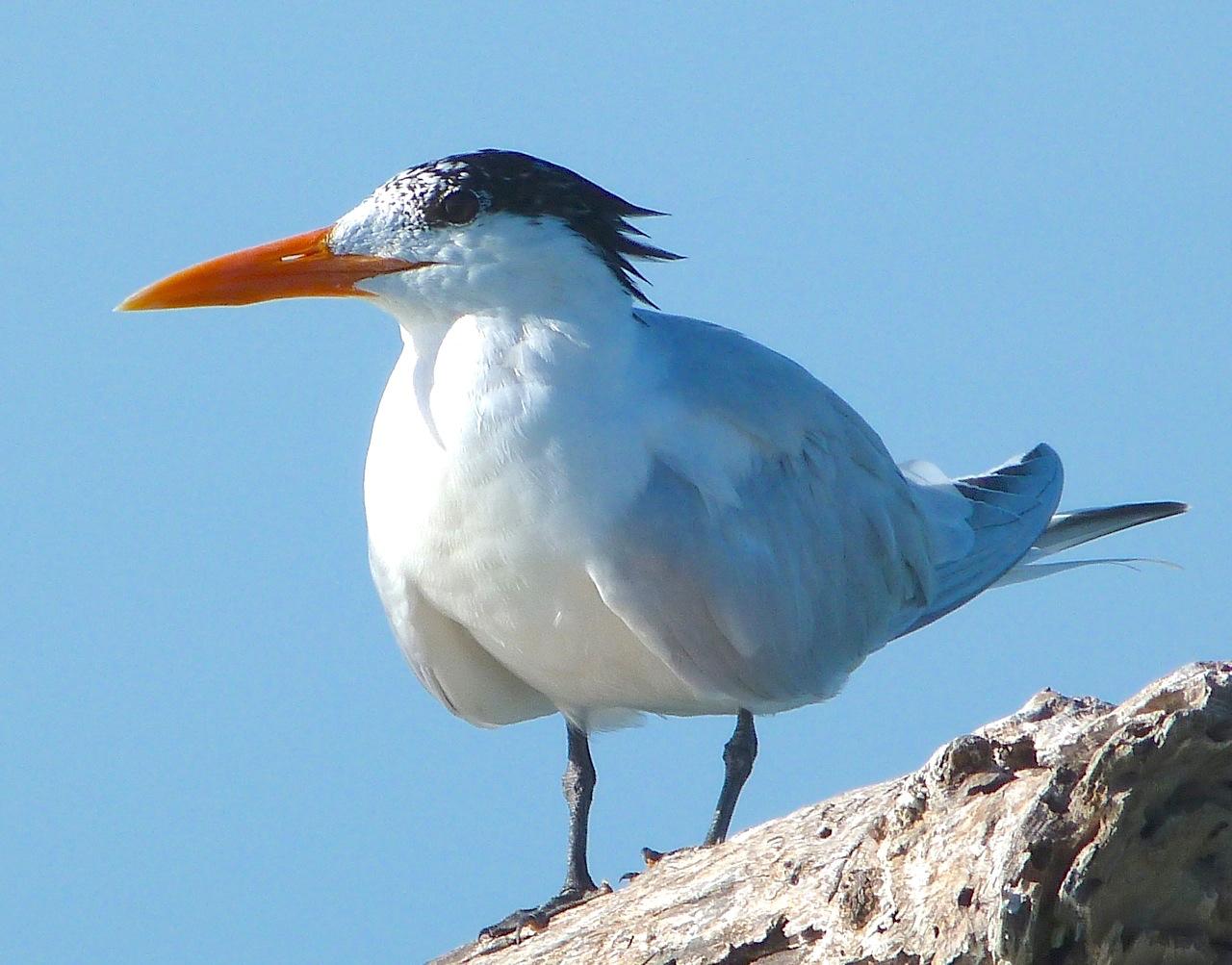Royal Tern, Abaco Bahamas (Keith Salvesen)