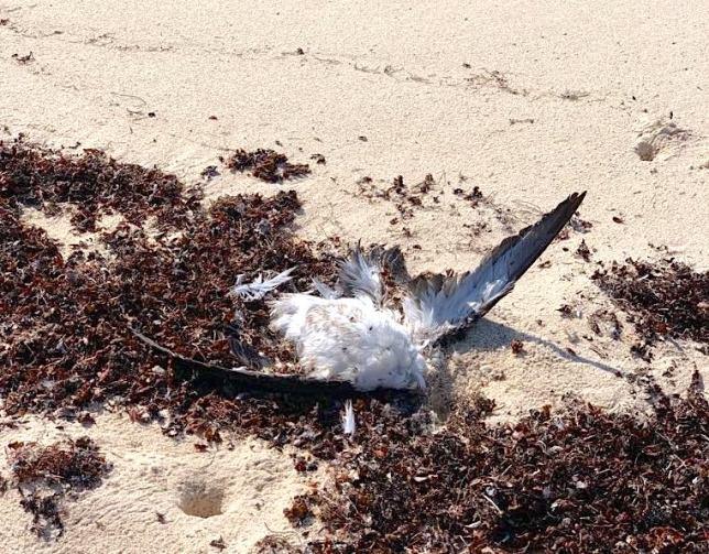 Shearwater die-off Abaco Bahamas (Rhona Pearce))