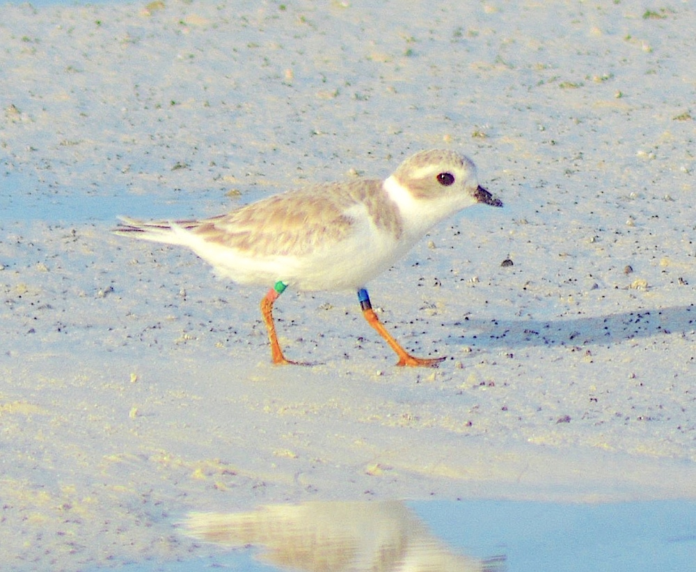 Piping Plover Squid from NJ - on Abaco Bahamas (Keith Kemp)
