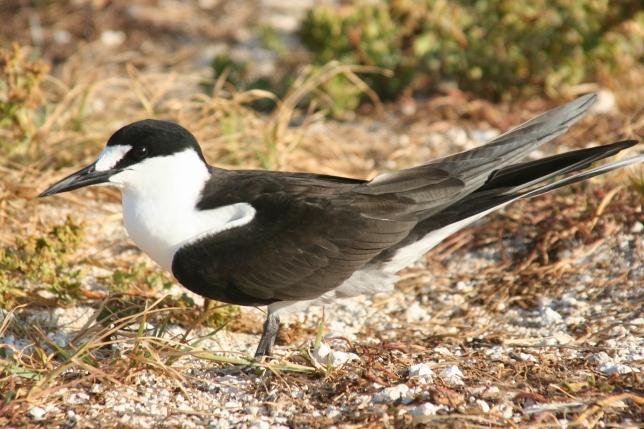 Sooty Tern, Duncan Wright wiki