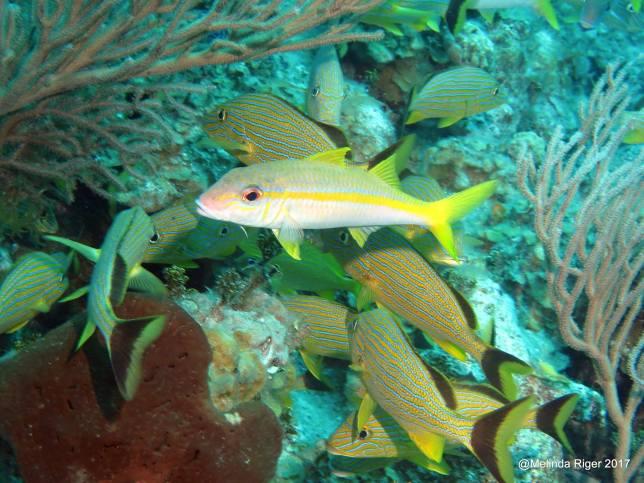 Goatfish, Bahamas (Melinda Riger / G B Scuba)