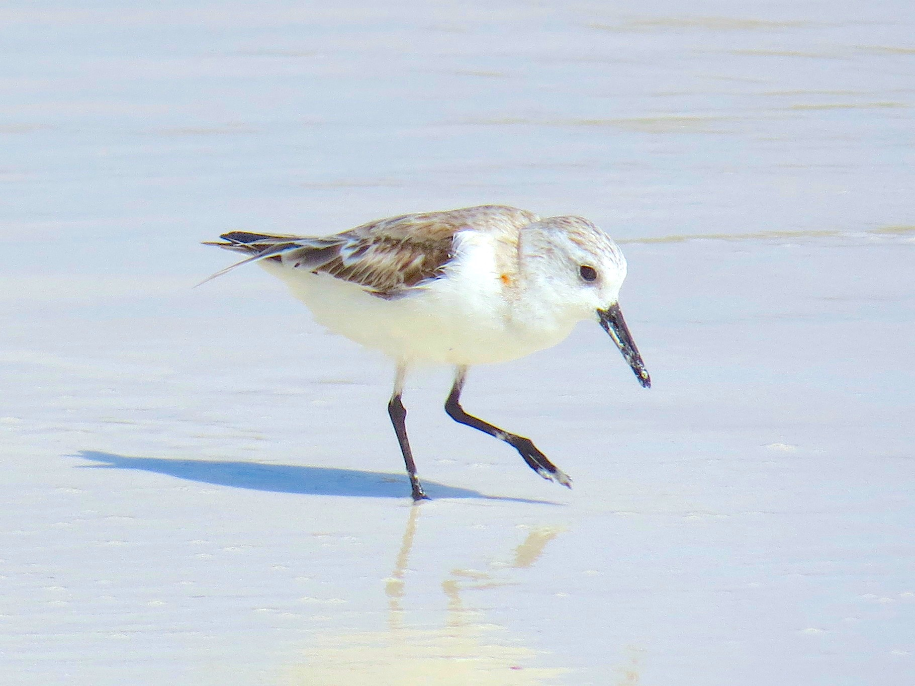 Sanderling, Delphi Beach Abaco Bahamas (Keith Salvesen / Rolling Harbour)