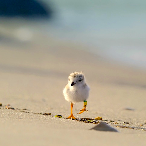 Piping Plover chick on LBI (Northside Jim Verhagen)