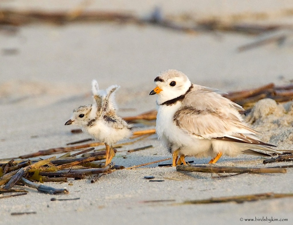 Piping plover adult & chick (Conserve Wildlife Foundation NJ / birdsbyKim)
