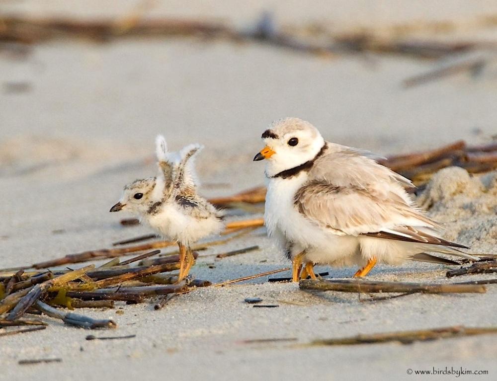 Piping plover adult & chick (Conserve Wildlife Foundation NJ / birdsbyKim)
