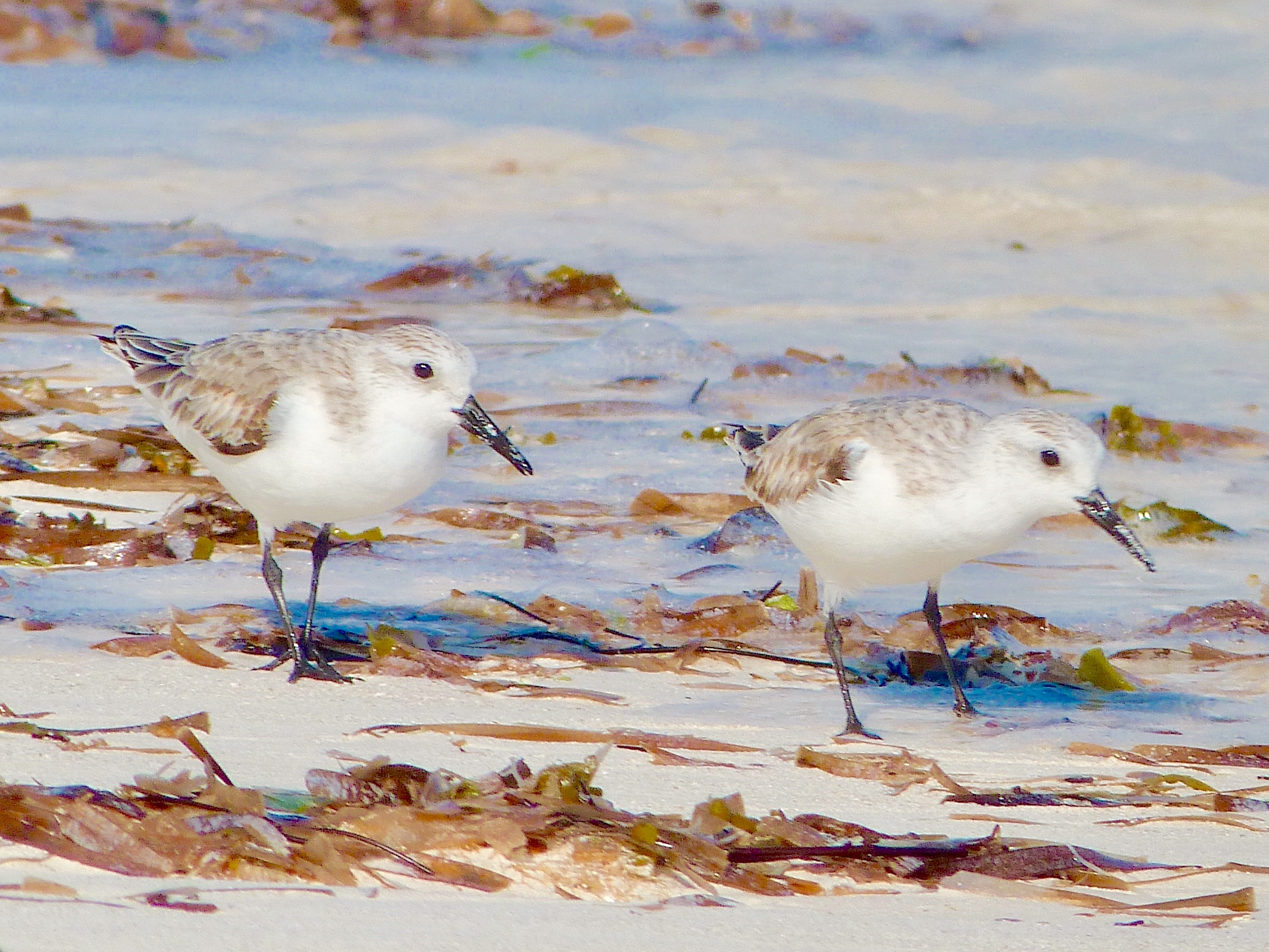Sanderlings, Delphi Beach, Abaco Bahamas (Keith Salvesen / Rolling Harbour)
