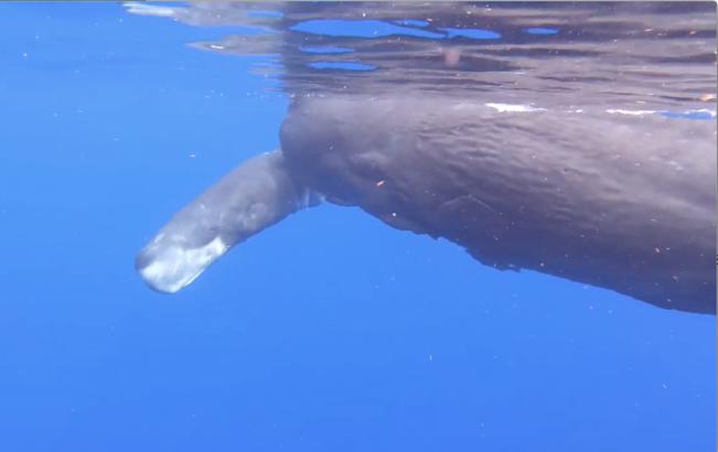 Sperm Whale baby (neonate) Abaco Bahamas (Charlotte Dunn / BMMRO)