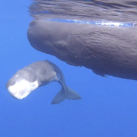 BABY SPERM WHALE IN BAHAMAS WATERS: AMAZING FOOTAGE