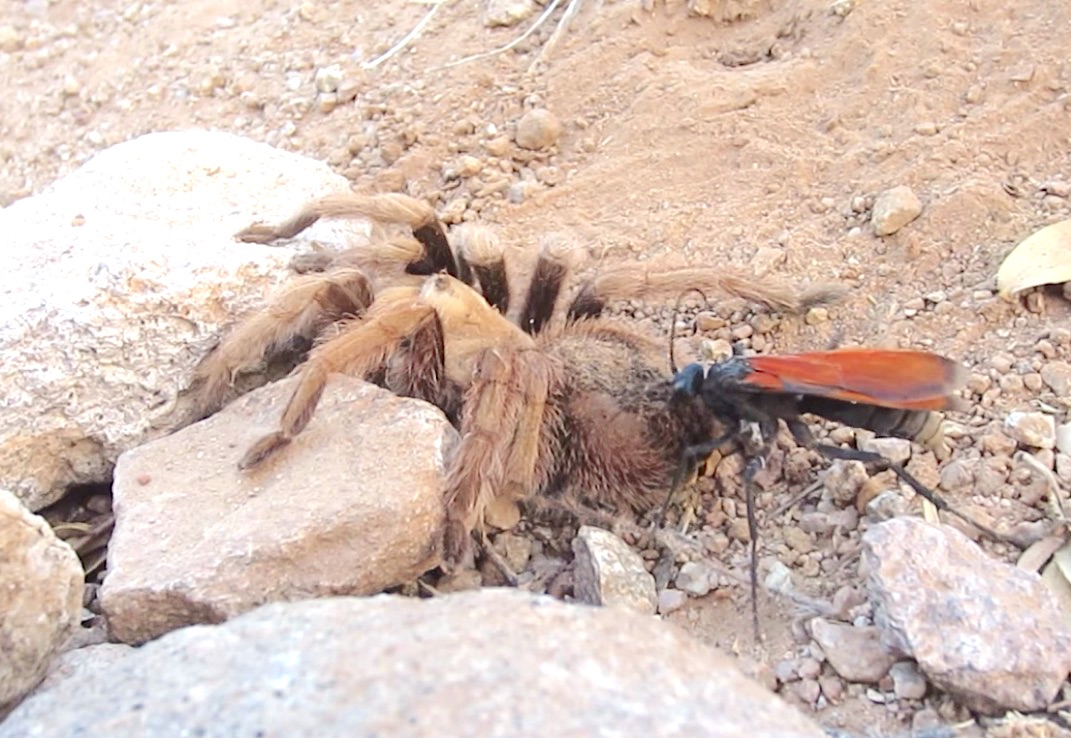Spider Wasp / Pepsis Wasp / Tarantula Hawk - TheCrotalusfreak