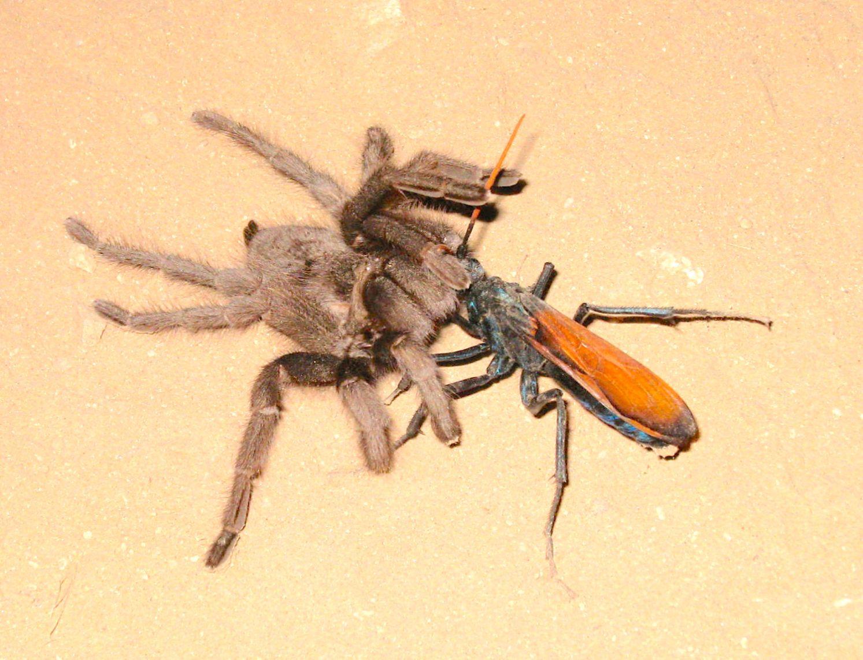 Spider Wasp / Pepsis Wasp / Tarantula Hawk - astrobradley