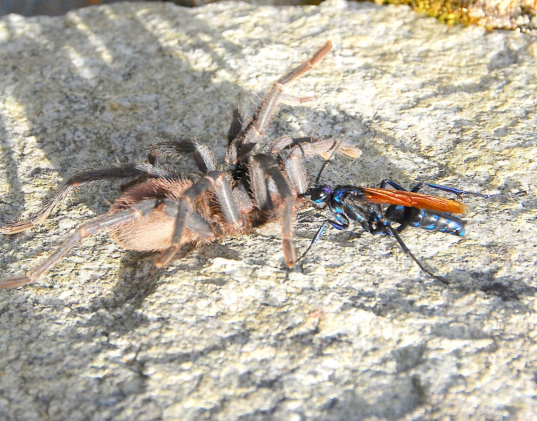 Spider Wasp / Pepsis Wasp / Tarantula Hawk mshandro