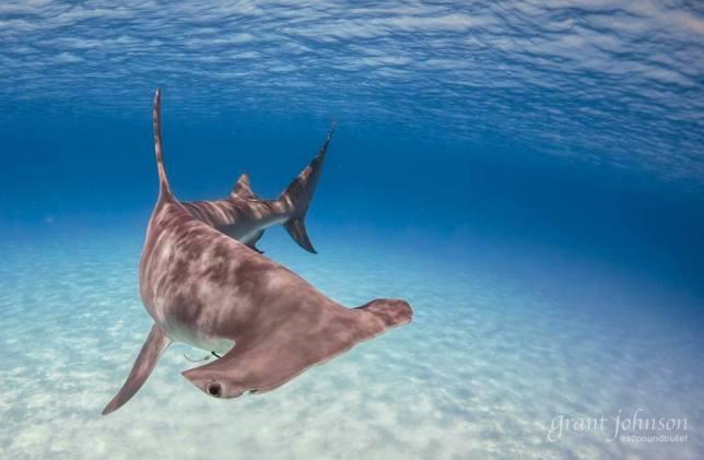 Sharks in Bimini Bahamas - Grant Johnson / 60 Pound Bullet