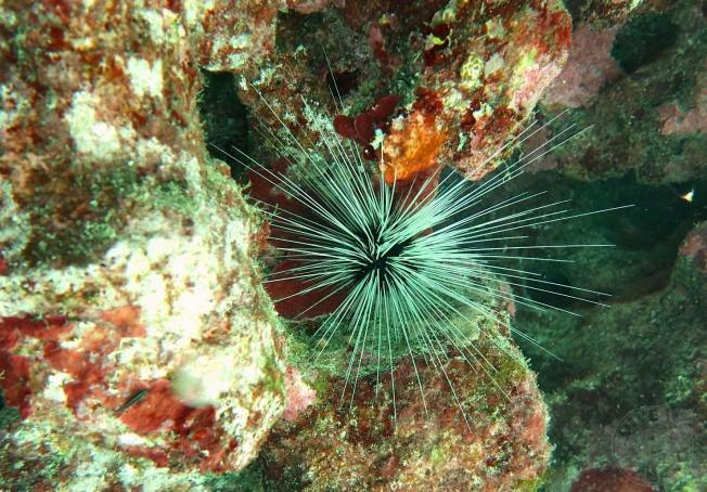 Long-spined sea urchin Diadema antillarum (Melinda Rodgers / Dive Abaco)
