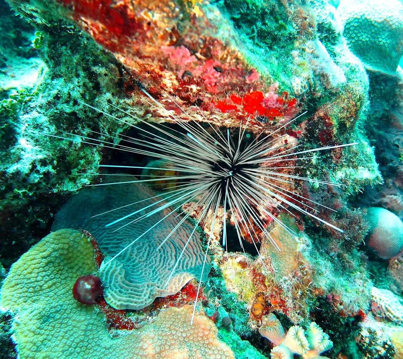 Long-spined sea urchin Diadema antillarum (Melinda Rodgers / Dive Abaco)