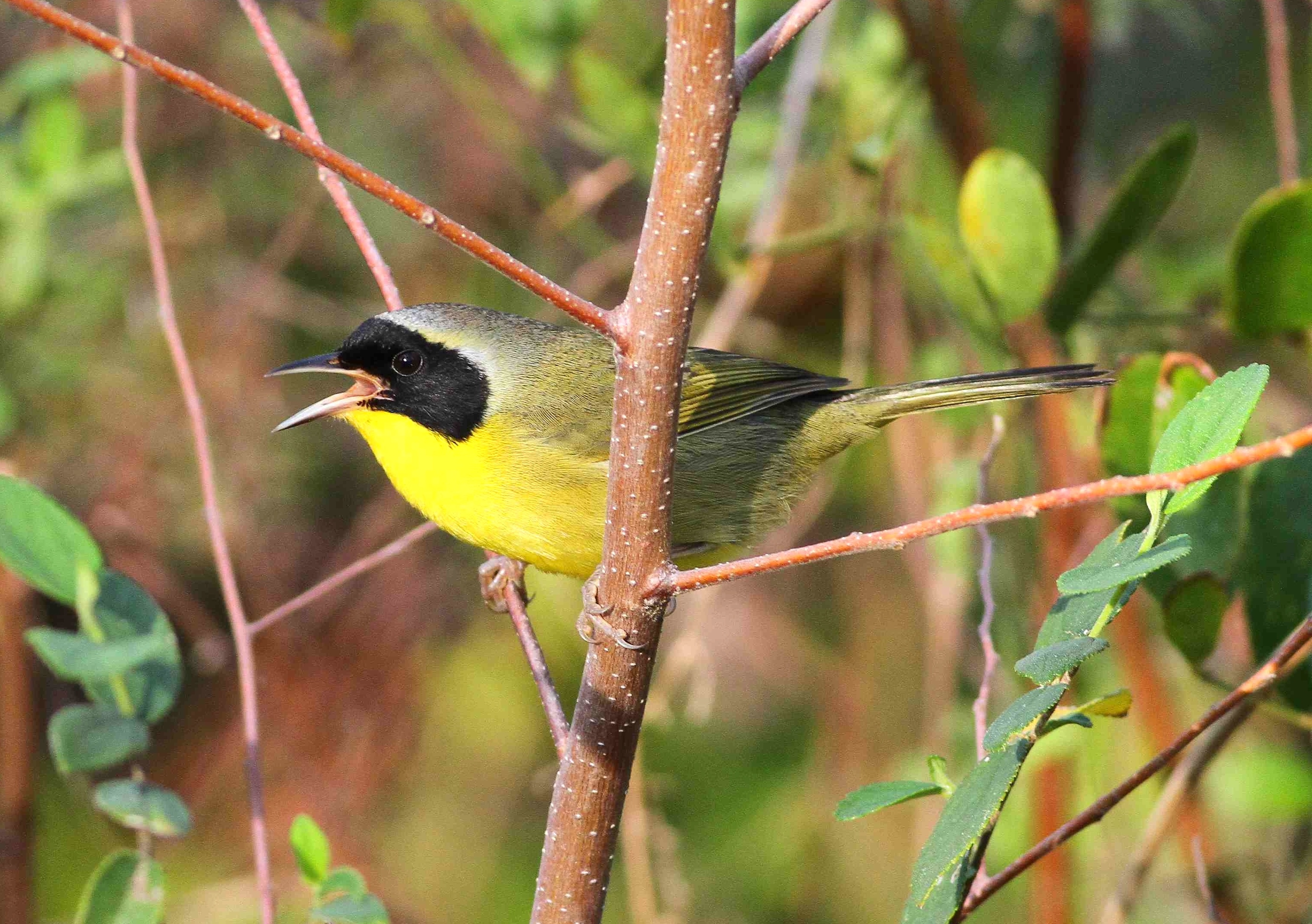 Bahama Yellowthroat (endemic), Abaco Bahamas (Gerlinde Taurer)