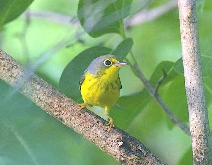 Canada Warbler, Abaco Bahamas (1st record) (Chris Johnson)