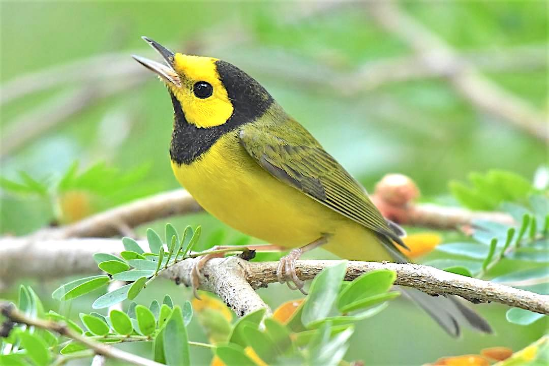 Hooded Warbler, Abaco Bahamas (Chris Johnson)