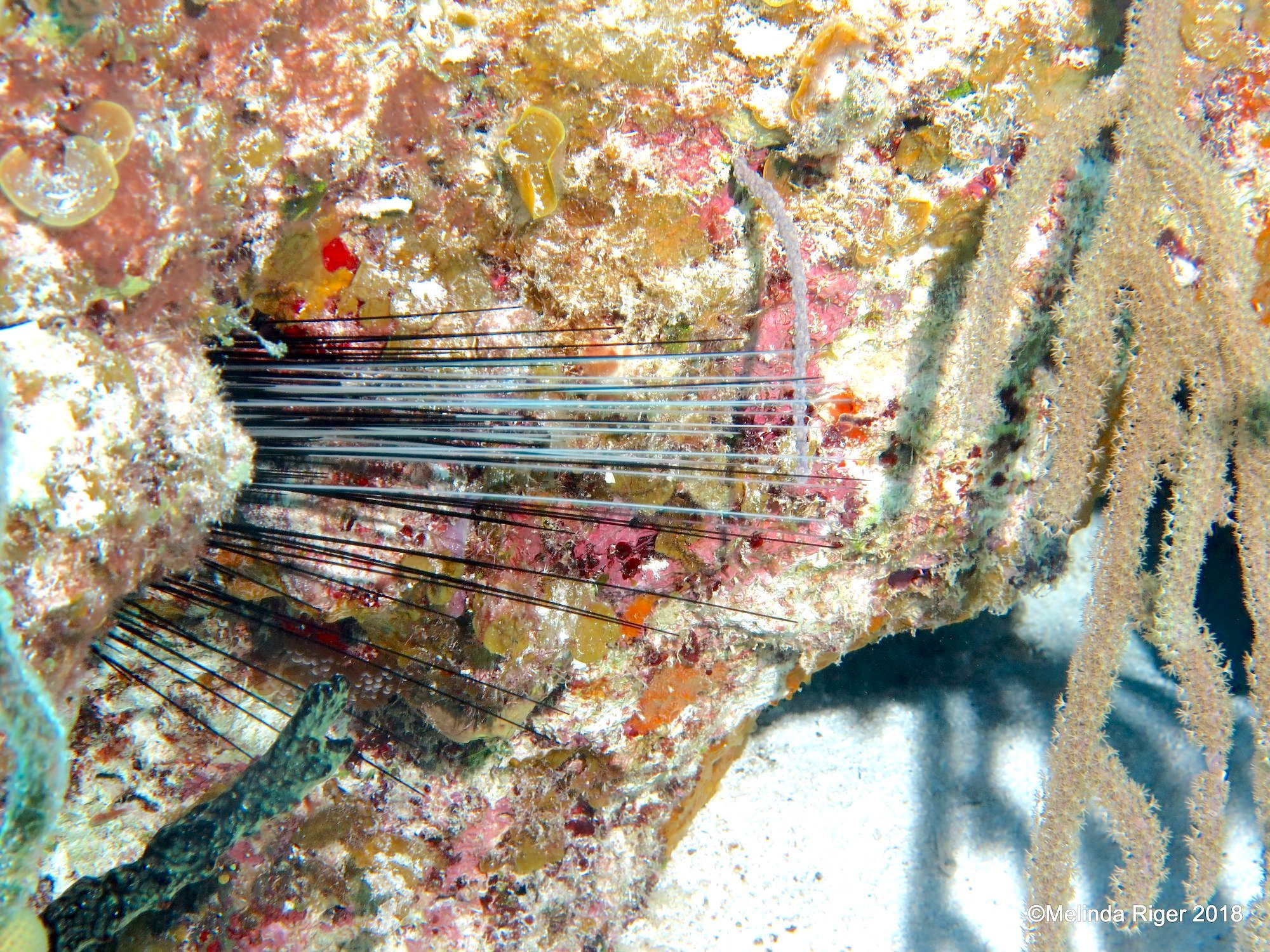 Long-spined sea urchin Diadema antillarum (Melinda Riger / G B Scuba)