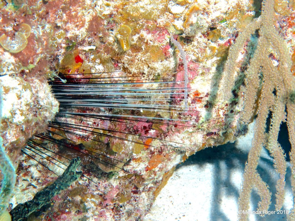 Long-spined sea urchin Diadema antillarum (Melinda Riger / G B Scuba)
