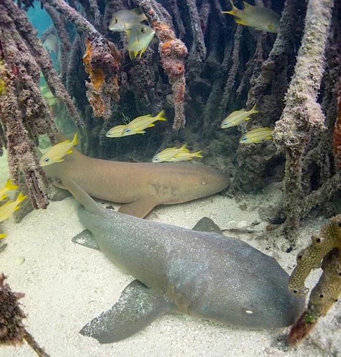 Sharks in Bimini Bahamas - biminis-marine-protected-area