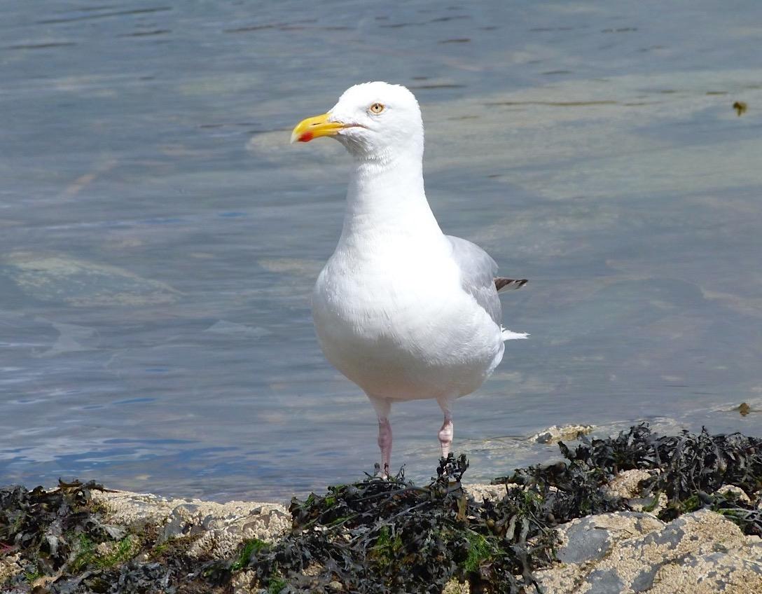 Herring Gull Studies (Ireland) - Keith Salvesen / Rolling Harbour