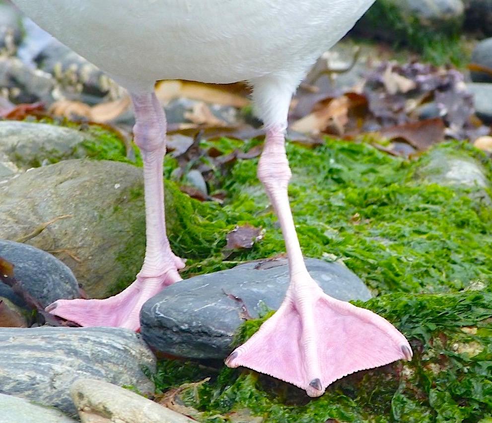 Herring Gull FEET Studies (Ireland) - Keith Salvesen / Rolling Harbour