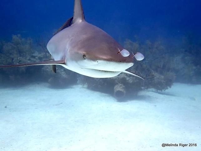 Sharks in Bahamas - Melinda Riger / Grand Bahama Scuba