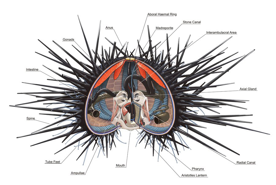 Sea urchin anatomy (Alex Ries)