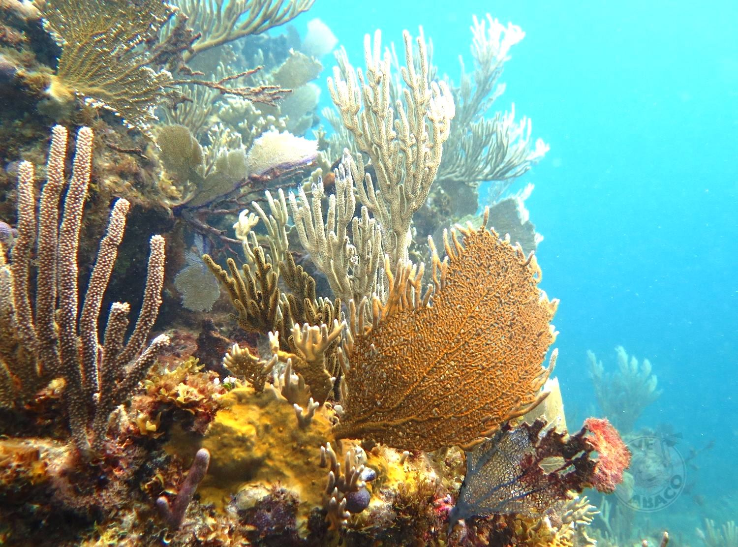 Reef Coral Abaco Bahamas (Melinda Rodgers / Dive Abaco)