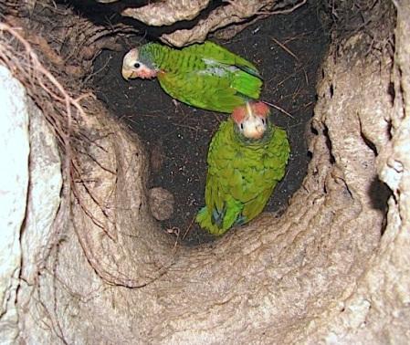 Abaco (Cuban) Parrot, Bahamas (Caroline Stahala Walker)