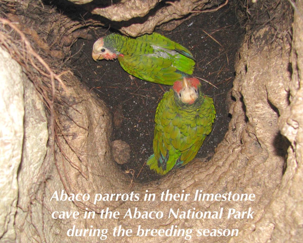 Abaco Parrots in limestone cave, breeding season (Caroline Stahala)
