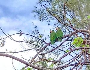 Abaco (Cuban) Parrot, Bahamas post hurricane Dorian (Tara Lavallee)