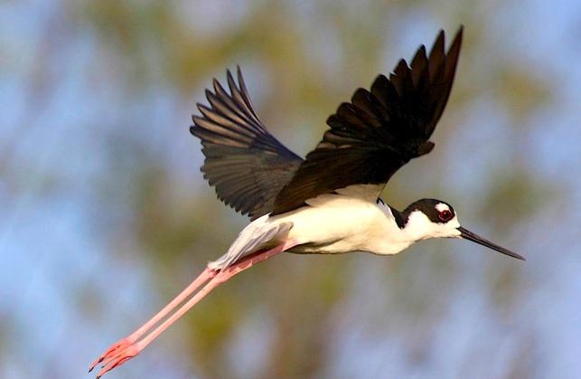Black-necked Stilt, Abaco Bahamas (Alex Hughes)