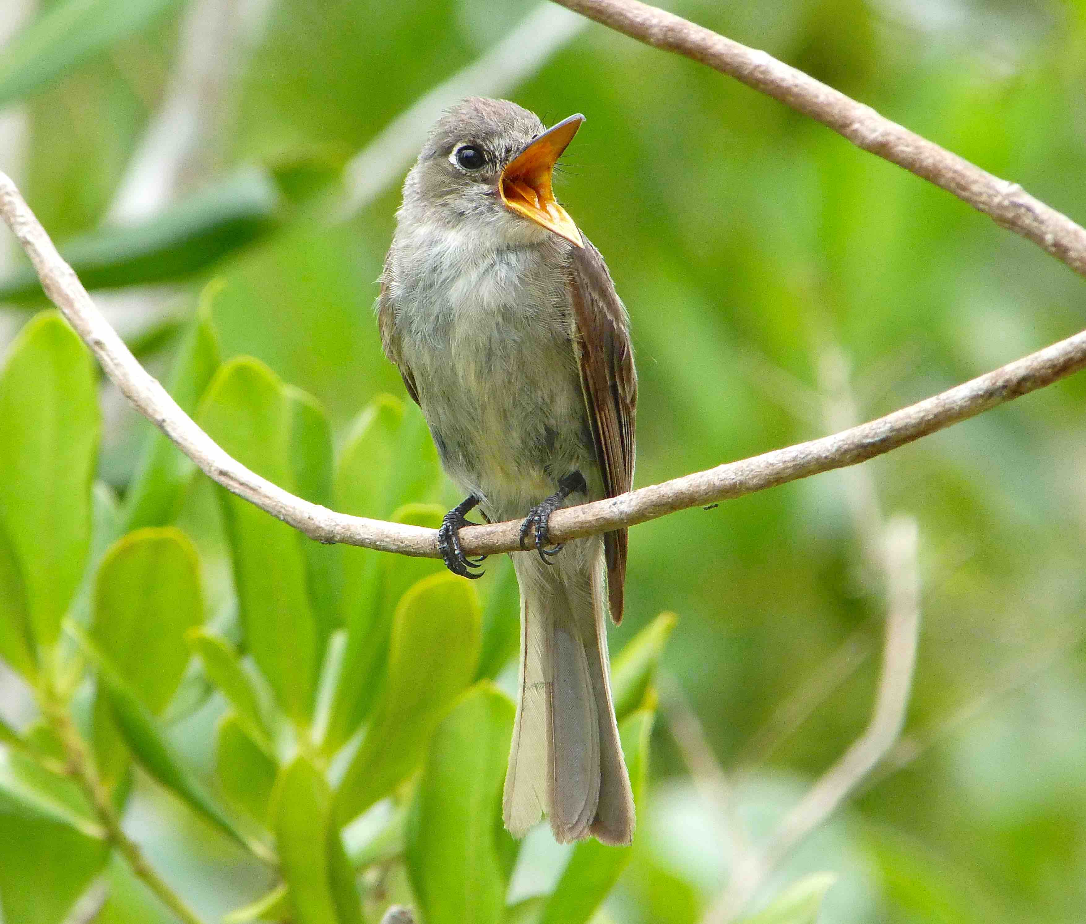 Cuban Pewee, Abaco Bahamas (Keith Salvesen / Rolling Harbour)
