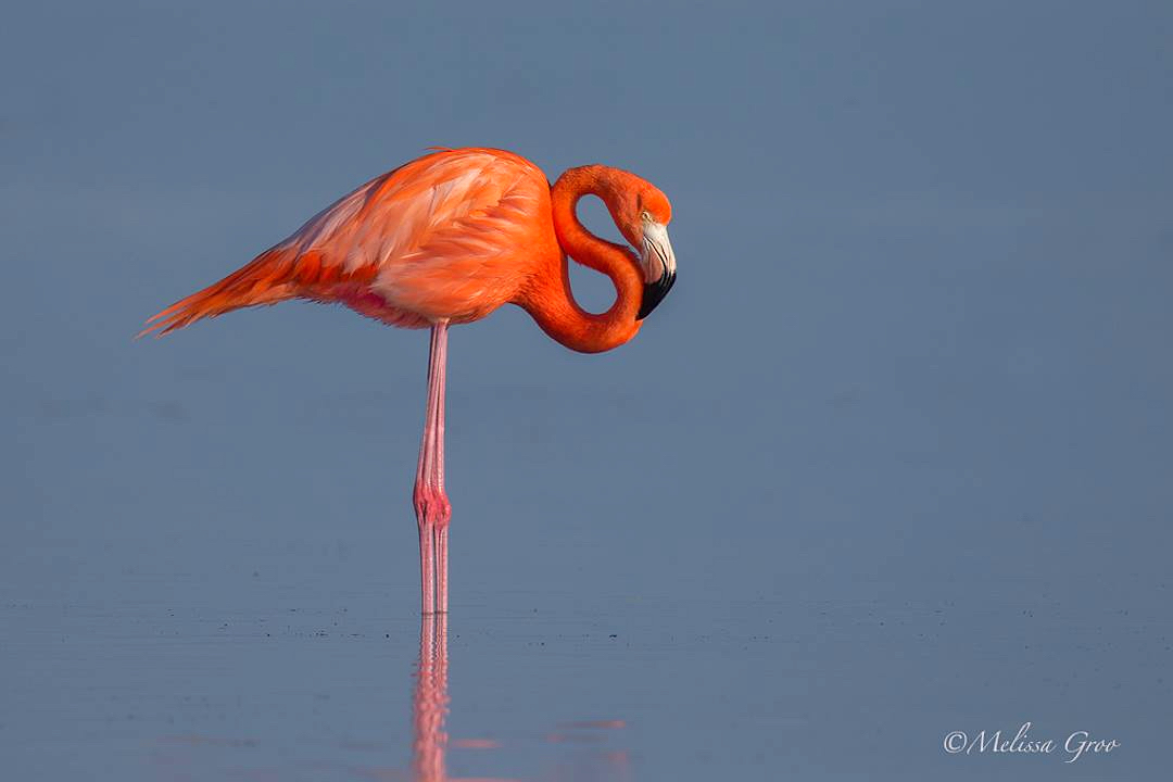 American Flamingo ©Melissa Groo (with kind permission)