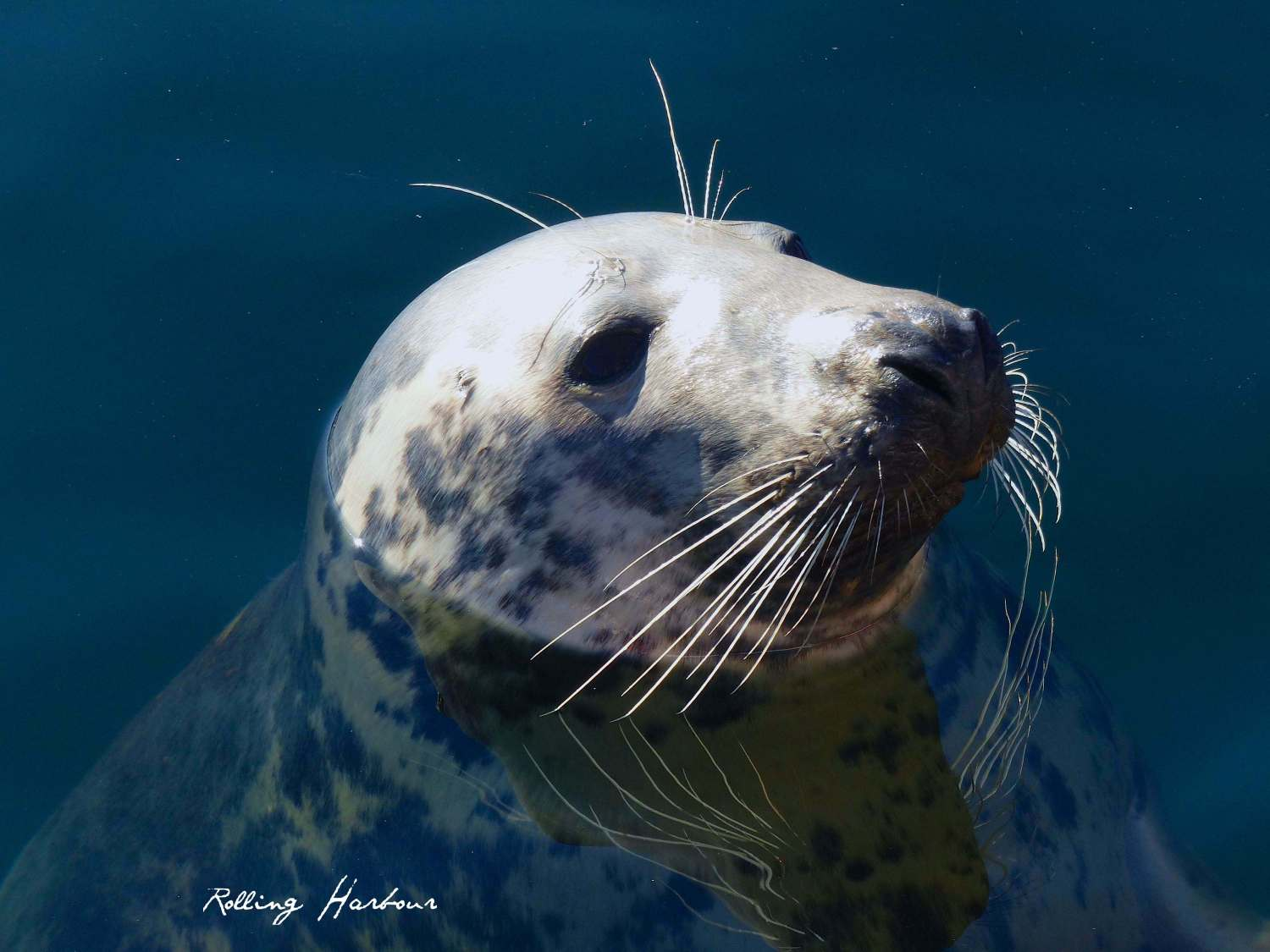Harbour Seal, Gairloch Scotland (Keith Salvesen / Rolling Harbour)