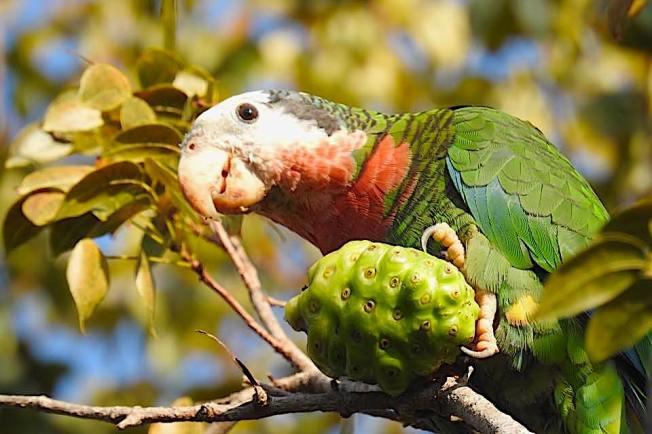 Abaco (Bahama) Parrot - Melissa Maura